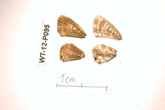 WT-12-P095 Cacyreus virilis (lepdatabase) Tags: kenya lycaenidae polyommatinae virilis cacyreus polyommatini