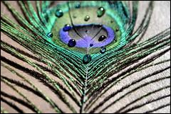 """La bellezza salverà il mondo (Nenya4) Tags: acqua colori luce bellezza essere coda pavone prospettiva apparenza amare amarsi accettare accettarsi """"flickraward"""" mygearandme pefezionedellanatura"""