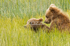 two cubs play (ricknature8877) Tags: bear wild plants usa brown plant playing cute eye nature beautiful face field grass animal alaska america walking fur relax landscape fun mammal outdoors nose cub big paw eyes weeds furry play unitedstates fuzzy outdoor head expression walk wrestling character wildlife fat unitedstatesofamerica small relaxing large meadow adorable canine furcoat personality size valley cuddly northamerica strong hunter shaggy prairie sibling coats predator relaxed companion playful fang snout carnivores brownbear predatory companionship denalinationalpark dependent relation horsingaround