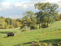 PASTORAL RETREAT ON AUTUMN RIDE (we got hard rain in the night and a cold front moved in for sunshine and beautiful clouds) (Birder23) Tags: afternoon cows sunny autumncolors standoftrees autumndrive pastoralscene rollingpasture 1062012 swoftrumansburgny