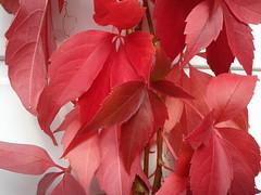 Herbst (cruarn) Tags: red nature herbst jahreszeit natur vine garten