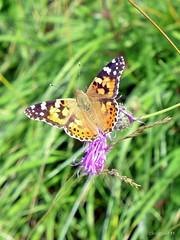 eine Muh, eine Mh und ein paar Schmetterlinge (mama knipst!) Tags: distelfalter cynthiacardui schmetterling butterfly eifel nettersheim sommer summer natur