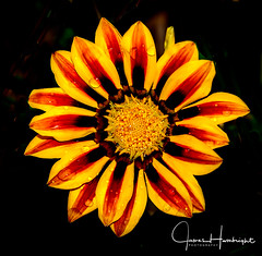 Brillant Beauty (jhambright52) Tags: flowers macro macroflowers doublefantasy yellowredflowers