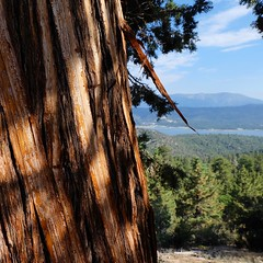Ancient tree at Big Bear (anyasuzdal) Tags: nature bigbear lake forest