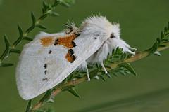 Weißer Zahnspinner (Olaf Traumflieger) Tags: leucodontabicoloria weiserzahnspinner