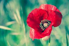 Amapola (AlbertoRnd) Tags: verde amapola poppy red rojo nature naturaleza macro spring flower flor primavera alberto