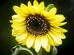 Girasol. (RosanaCalvo) Tags: flor airelibre girasol jardn planta verano