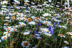 """""""I don't like formal gardens. I like wild nature. It's just the wilderness instinct in me, I guess"""" (Cindy's Here) Tags: wildflowers wildgardens daisy billsoldamethystmine pearl ontario canada canon wellknownquote waltdisney 116 56"""