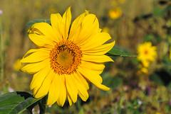 Sonnenblume / Sunflower (OK's Pics) Tags: techndaten blende63 blende delkenheim zeit kamera wiesbaden hessen objektiv1nikkorvr30110mmf3856 zeit1640 de deutschland brennweite kameranikon1v1 brennweite35mm200mm objektiv orte