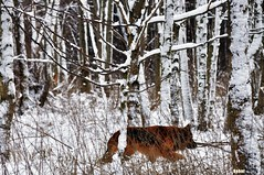 wild nature (Behni88) Tags: nature forest winter snow dog wild hund wald natur krajobraz snieg las pies bialy white weis blanche blanc arbre foret chien perro neige
