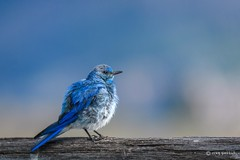 The Blues have it (craig goettsch - gone fishin') Tags: mountainbluebird male morninglight bird avian wildlife blue fence colorado nikon d500 nature ngc npc