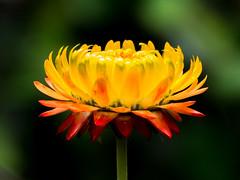 Xerochrysum bracteatum (Strawflower / Inmortal) (PriscillaBurcher) Tags: strawflower siempreviva paperdaisies inmortelle inmortal flordepapel everlasting xerochrysumbracteatum goldeneverlasting l1620992