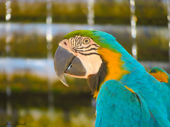 Pappagallo (Incommensurabile) Tags: pappagallo primopiano canon