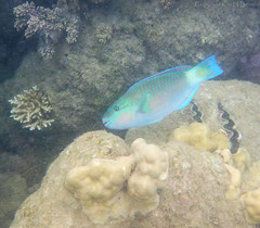 parrotfish (possibly bicolor) (kimbenson45) Tags: australia gbr greatbarrierreef lowislesreef queensland bicolor blue bright colorful colourful coral coralreef fluorescent green iridescence iridescent nature nibble nibbling underwater water wildlife