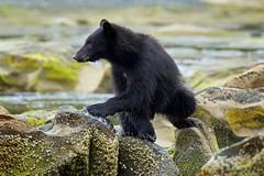 A happy bear (rs) (Blingsister) Tags: americanblackbear blackbear2yearoldcub youngblackbear bear bearcub blingsister blackbear melanieleesonwildlifephotography canon7dmarkii canonef100400mmf4556lisiiusm14xiii northernvancouverisland