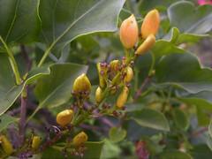 Graines lilas (TineMona) Tags: macro jardin fleur menthe dahlia millepertuis orthensia lilas arbre a poivre