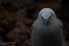 Brown Noddy - Galapagos, Ecuador (Vivek Khanzod (www.birdpixel.com)) Tags: worldbirdspecies933 ecuador islafloreana nature galapagos birds wildlife worldbirdspecies facebook anousstolidus flickr brownnoddy ec