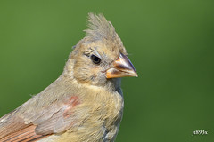 Northern Cardinal (female juvenile) (jt893x) Tags: 150600mm bird cardinal cardinaliscardinalis d500 female jt893x juvenile nikon nikond500 northerncardinal sigma sigma150600mmf563dgoshsms songbird portrait specanimal