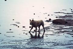Dog on the beach Koh Samui Thailand (Adeline Govi N) Tags: dog chien loup farouche color couleur mer swim