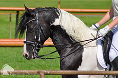 Paint horses (Vicktrr) Tags: majestic horses bremen germany galopprennbahn race course bremer pferdetage horse friesian andalusian andalucian pre stallion spanish equine equestrian barrel racing cowboy indians paint lunging vaulting pinto