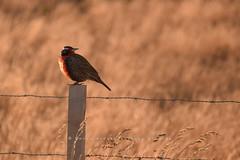 Loica (Sturnella loyca) (David A. Vásquez Stuardo) Tags: birds avesdechile aves wild patagonia loica cernicalo sur