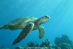 IMG_0067 copy (Aaron Lynton) Tags: lyntonproductions tako honu turtle hawaii maui underwater canon g1x spotted eagle ray octopus sea star