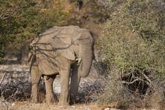 Namibia 2016 (353 of 486) (Joanne Goldby) Tags: africa africanelephant august2016 elephant elephants etosha etoshanationalpark explore loxodonta namiblodgesafari namibia safari