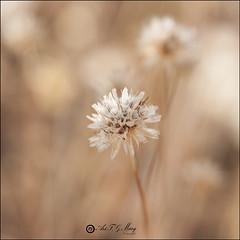 Flor silvestre (Art.Mary) Tags: flor fleur nature flower canon granada andaluca epaa spain espagne naturaleza silvestre bokeh
