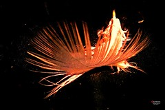 Fireworks created by Nature (caren (Thanks for 1 Million+ views)) Tags: light reflection summer nature orange naturalart pink firework fireworksbynature feather birdfreather night art wales ceredigion