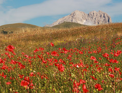poppies at the foot of the Gran Sasso (ludi_ste) Tags: poppies papaveri montagna mountains gransasso campoimperatore abruzzo campo field