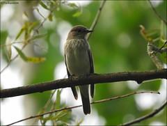 Benekli Sinekkapan (Muscicapa striata) (frkn_rn) Tags: frknrn nature natural naturelover wild wildlife life