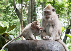 Child rearing - Ubud Monkey Forest, Bali, Indonesia (Maria_Globetrotter) Tags: 2016 fujifilm indonesia mariaglobetrotter dscf3348 mother son animals kid child monkey monkeys world kingdom forest wild life love ubud bali