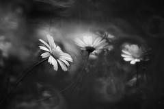 Stendhal I_B&W (hequebaeza) Tags: naturaleza nature florasilvestre vegetacin vegetation flores flowers ptalos blanco white amarillo yelow petals margaritas daisies bw monocromo nikon d5100 nikond5100 55200mm hequebaeza