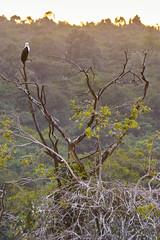 Fish Eagle Roosting At Dusk (paulinuk99999 - just no time :() Tags: paulinjuk99999 nairobi national park wildlife kenya fish eagle roost dusk sal70400g