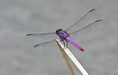 Roseate Skimmer Dragonfly -- Male (Orthemis terruginea) -- Male; Tucson, Arizona, Chistopher Columbus Park, [Lou Feltz] (deserttoad) Tags: nature pond insect dragonfly arizona odonate water park lake