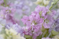 soft pastel stocks (photoart33) Tags: soft texture flowers pastel stocks yellow pink purple