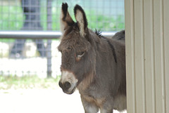 Hausesel im Parken Zoo in Eskilstuna (Ulli J.) Tags: zoo sweden schweden donkey sverige eskilstuna sude ne sdermanland parkenzoo sna hausesel