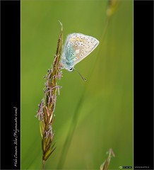 A Common Blue Clich (bbusschots) Tags: ireland macro butterfly insect flickr filter circularpolarizer kildare leixlip commonbluepolyommatusicarus