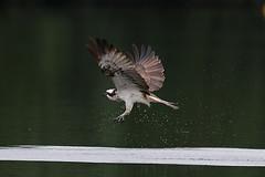 Osprey (Pandion haliaetus) - Worcestershire (Dave Barnes Bird Photography) Tags: warren worcestershire osprey upton