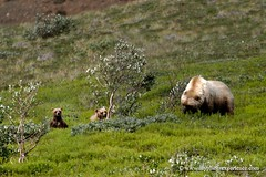 Hey mom, a guy is watching us! (My Planet Experience) Tags: bear usa nature alaska america canon landscape mammal photography cub us photo nationalpark photographie unitedstates image pics wildlife bears ak experience teddybear planet grizzly wilderness exploration mammals parc brownbear ursusarctos grizzlybear stockphotography denalinationalpark amrique tatsunis ursusarctosho