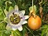 Il est temps de récolter les fruits de la passion ....., le fruit plutôt! (Marie-Hélène Cingal) Tags: fruit 40 landes aquitaine passiflore passifloracaerulea fruitdelapassion cagnotte paysdorthe
