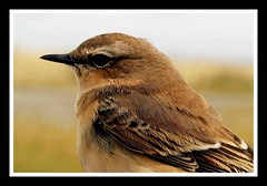 Wheatear (Buzzard2001) Tags: portrait bird birdwatching wheatear passerine