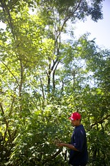IMG_1992 (S&PF, USFS Pacific Southwest Region) Tags: mapping fia 2012 pacificisland americansamoa invasivespecies usfs tutuila fhp redbeadtree adenantherapavonina pacificsouthwestregion byleozliu foresthealthprotection