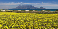 Table Mountain Spring Flowers (Panorama Paul) Tags: panorama spring capetown tablemountain flowercarpet nikkorlenses nikfilters neverhdr nikond800 paulbruinsphotography