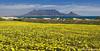 Table Mountain Spring Flowers (Panorama Paul) Tags: panorama spring capetown tablemountain flowercarpet nikkorlenses nikfilters neverhdr nikond800 paulbruinsphotography