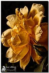 La luz, la rosa y el paso del tiempo (jose alb) Tags: nikon rosa valladolid amarilla jardn marchita iluminada josealberto ajada d7000 mimamorflowers