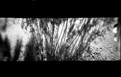 You're lost inside your houses (QsySue) Tags: shadow blackandwhite sunlight plant wall bush desert toycamera efke50 35mmfilm shade anscopixpanorama flippedlens developedathome anscopanoramicpix titleisajacksonbrownelyric