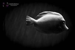 (danisdigitals) Tags: blackandwhite fish eye swim photography aquarium still underwater sealife oceanside southerncalifornia simple fineartphotography naturephotography underwaterphotography abstractphotography beachphotography botanicalphotography oceansidephotographer danisdigitals daniellesolano northcountyphotographer danisolano