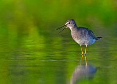 Lesser Yellowlegs in the Green Light (Canter Photography) Tags: bird nature nikon wildlife swamp bog shorebird lesseryellowlegs tringaflavipes 600mmf4 avianexcellence 14teleconverter nikond3s