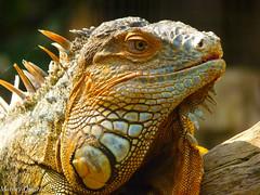 Iguana (Marney Queiroz) Tags: nature brasil cores do natureza parana ceu foz iguacu queiroz marney frenteafrente panasonicfz35 marneyqueiroz
